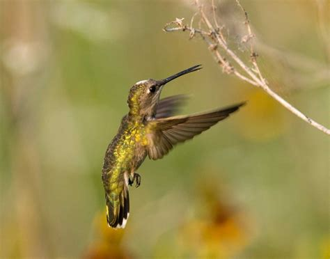 did you know hummingbirds eat bugs review nectar