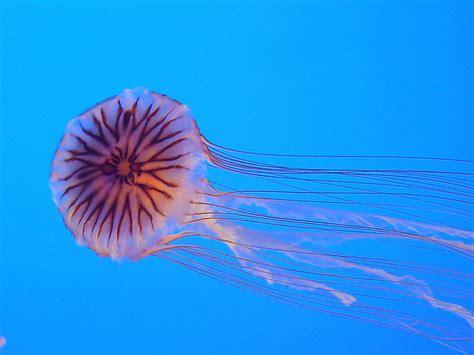 quallen le picture 2 of 9 jellyfish cnidaria scyphozoa aurelia