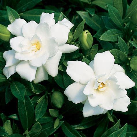 gardenia prostrata gardenia jasminoides
