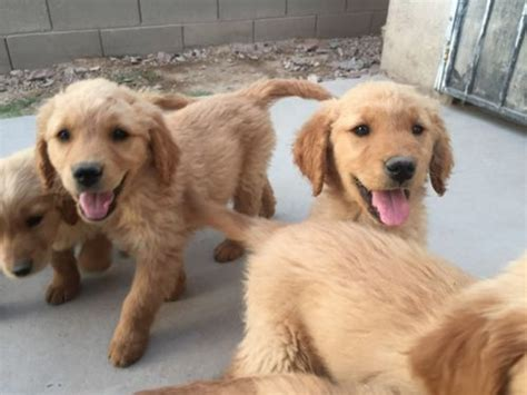 how often should i give my golden retriever a bath 11 steps to caring for and puppies after birthing i my golden retriever
