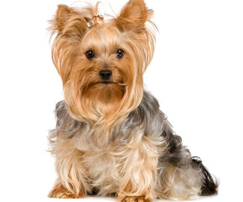 can you cut silky terrier hair short чем кормить йоркширского терьера