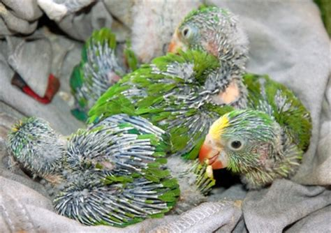 baby parrot called baby parrots
