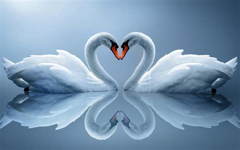 wallpaper swans love heart romantic swans lovebirds