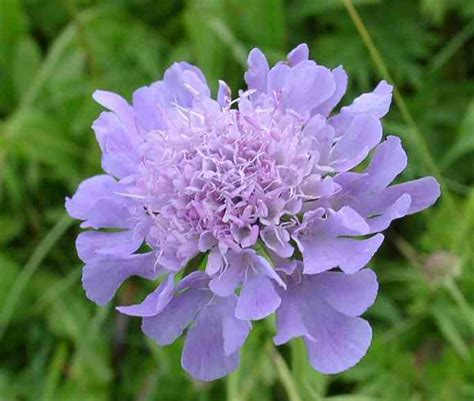 How To Properly Make A Bed by Garden Flower Scabiosa Pincushion Flower Higgledy Garden