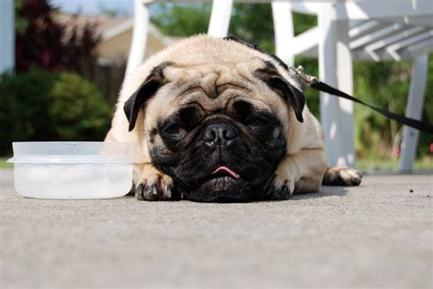 pug a lot of water besides water can dogs drink anything else like find out here