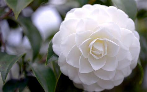 camellia white flower 10 high resolution wallpaper hdflowerwallpaper com