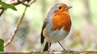 robin birds chirping and singing relaxing video bird