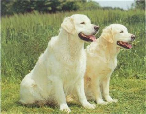 aggressive golden retriever golden retriever breed information