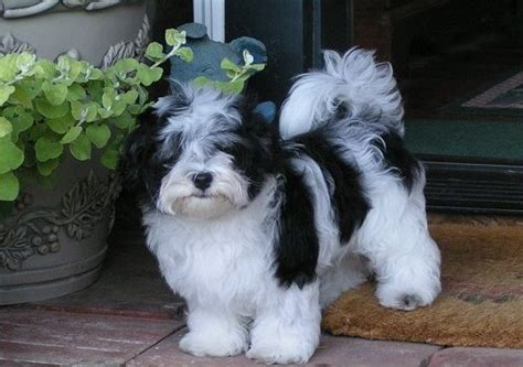 size of havanese havanese puppies rescue pictures information temperament characteristics