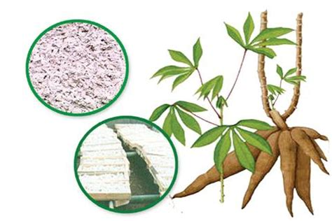 Pakan Fermentasi Untuk Ternak pemanfaatan cassapro untuk pakan ternak