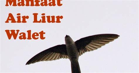 Manfaat Black Walet manfaat dan keutungan bisnis black wallet manfaat air liur burung wallet