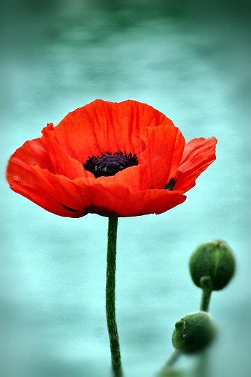 best of popy 25 best ideas about poppies on poppies