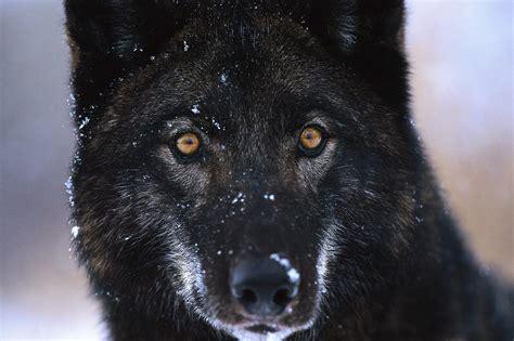 Ojos de un lobo negro :: Imágenes y fotos Growling Black Wolf With Yellow Eyes