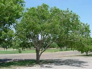 Texas Vase West Texas Nursery Lacebark Elm