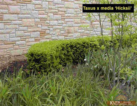 Taxus X Media Hicksii 2289 by Taxus X Media Hicksii Yew Gammon 39 S Garden Center