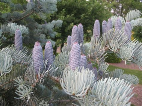 Accent Bedroom Furniture abies concolor candicans blue cones