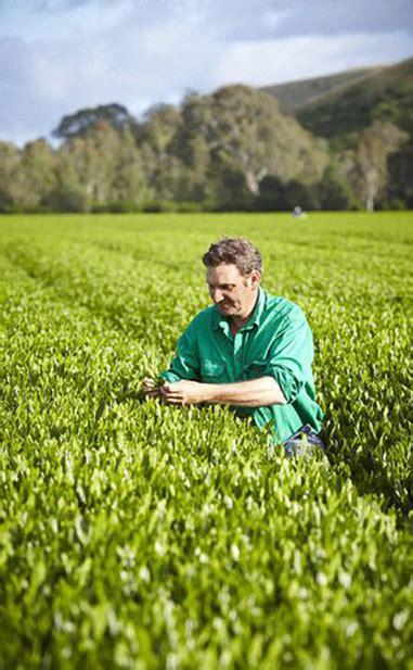 Growing Green harvesting growing green tea