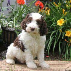 springerdoodle puppies for sale mini springerdoodle puppies springerdoodles are a