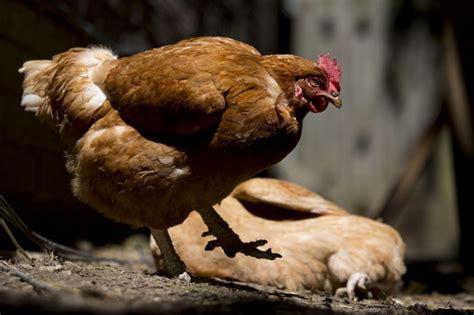 common sense is key in keeping backyard chickens toronto
