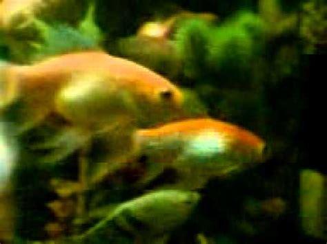 Lu Aquarium Ikan Hias aquarium ikan hias air tawar