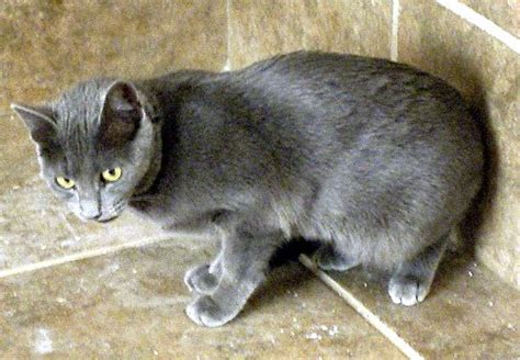 Do Black Cats Shed by Korat Cat Pictures And Info