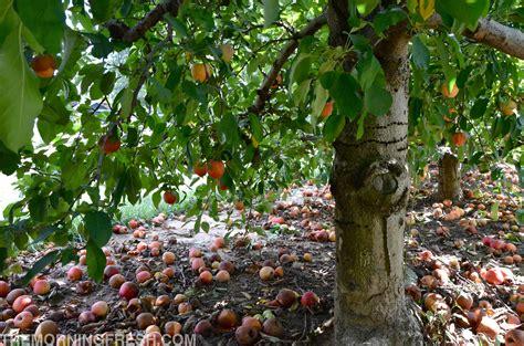 nc fruit trees carolina archives the morning fresh
