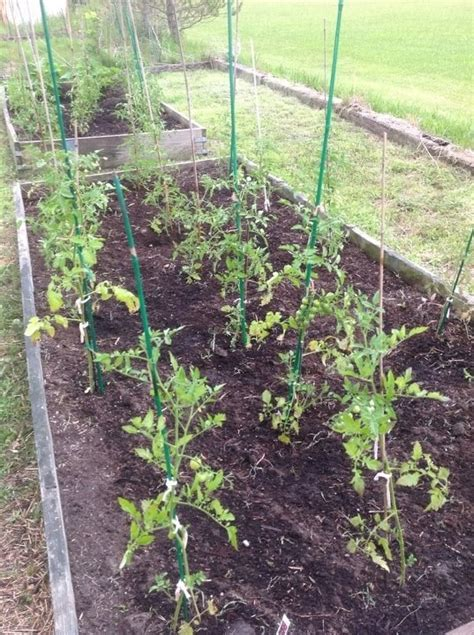 Raised Tomato Planter by Tomato Plants In Our Raised Beds Raised Beds Diy
