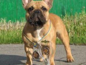 yorkies for sale in mcallen tx bulldog puppies for sale gorgeous bulldog puppies financing available