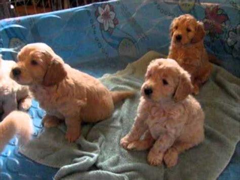 free goldendoodle puppies mini goldendoodle puppies