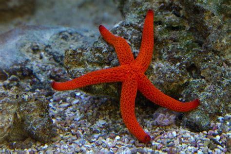 Bintang Laut Warna ciri ciri dan fakta mengenai bintang laut ragam informasi