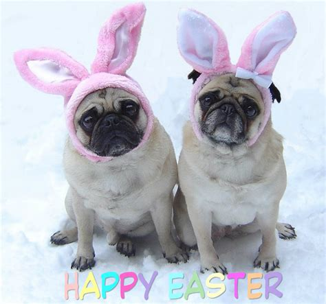 cutest pug pug easter bunnies pugs photo 33876422 fanpop