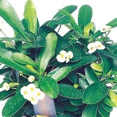 dieffenbachia compacta botanical  dieffenbachia