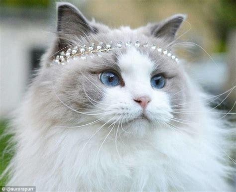 princess aurora the world s most beautiful cat has