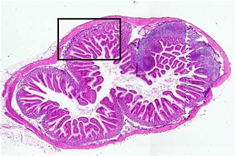 cross section of the small intestine anatomy a215 virtual microscopy
