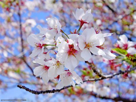sfondi fiori di ciliegio scaricare gli sfondi fiori di ciliegio tsyety filiale
