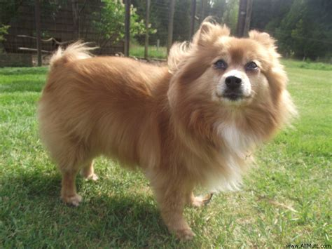 mix pomeranian the shetland sheepdog pomeranian mix allmutt