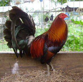 gallos de pelea gallos de combate puros jumper youtube bronquitis infecciosa y c 211 lera aviar en gallos de pelea