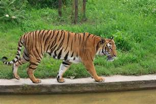 tiger is walking in the prague zoo stock photo colourbox