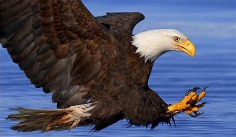 imagenes de aguilas sin fondo los animales carn 237 voros informacion sobre animales