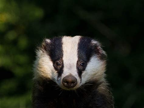 badger head: chris r uk: galleries: digital photography