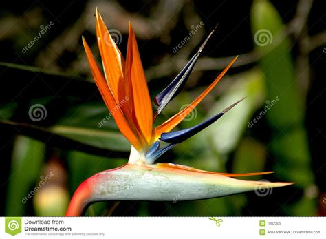 fiore uccelli paradiso uccello fiore di paradiso fotografia stock libera da