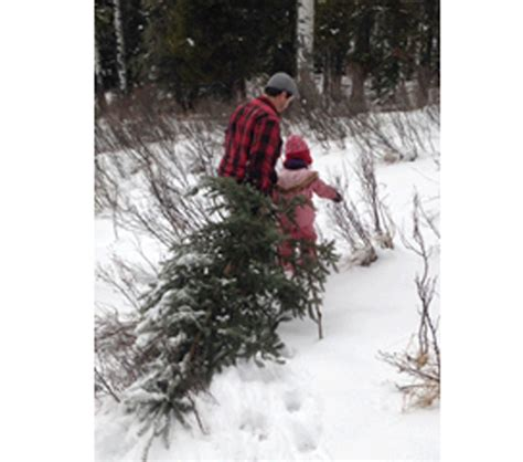 cut down your own christmas tree edmonton cut your own tree highriveronline