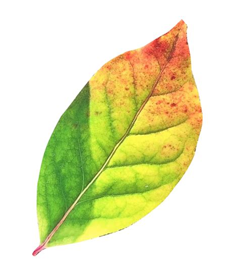 Autumn Leaf autumn leaf png transparent image pngpix