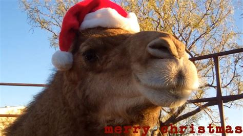 christmas camel wishes you a merry christmas youtube