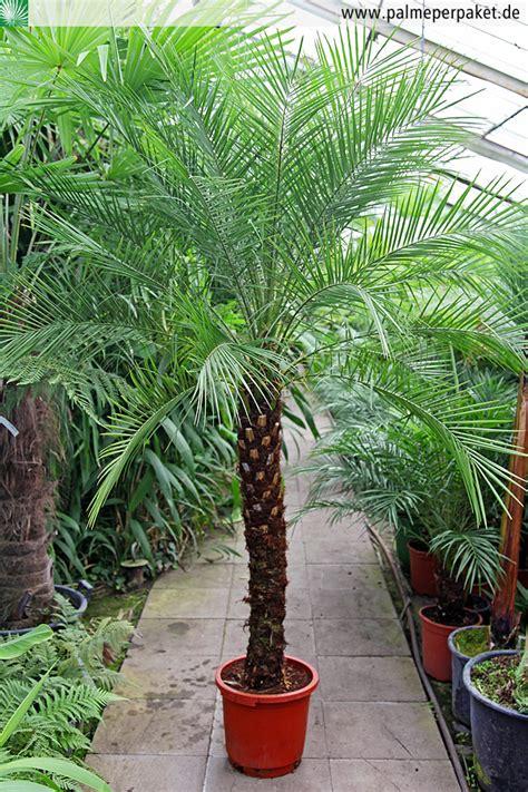yucca palme schlafzimmer palme f 252 r balkon balkon palme hauptdesign pflegeleichte
