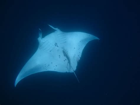 Manta Rays: Report an Encounter Eyes on the Horizon