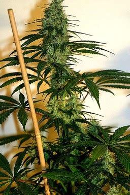 citral skunk ch female seeds cannabis strain info