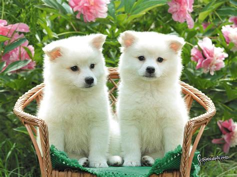 cut dogs puppies american eskimo wallpaper for your computer desktop