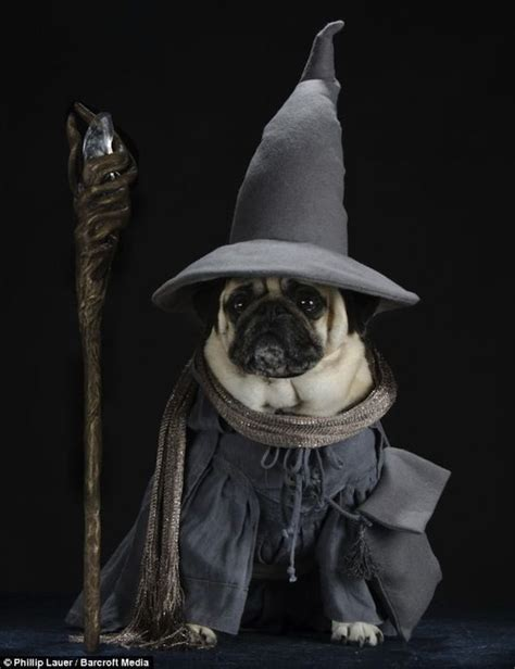 pictures of pugs dressed up adorable pictures of pugs dressed up as lord of the rings characters