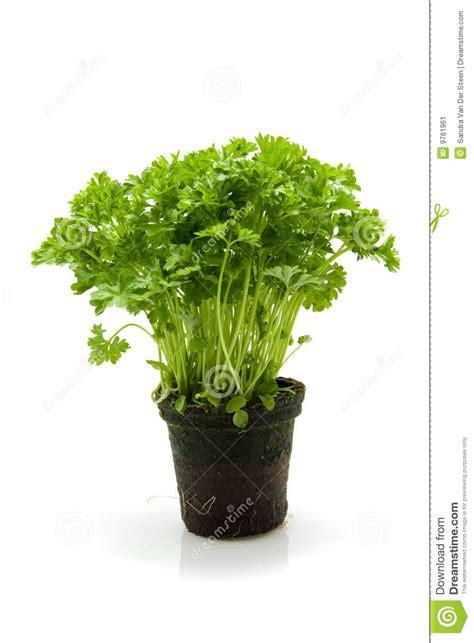 prezzemolo in vaso prezzemolo della pianta immagine stock immagine di pianta